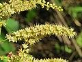 Terminalia elliptica - Indian Laurel flowers at Nedumpoil (11).jpg