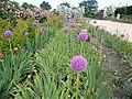 Terra Botanica - Allium giganteum Reg 02.jpg