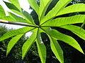 Tetrapanax papyrifer au jardin jungle.JPG