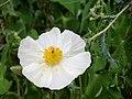 Texas Canyon - Southwestern Prickly Poppy.jpg