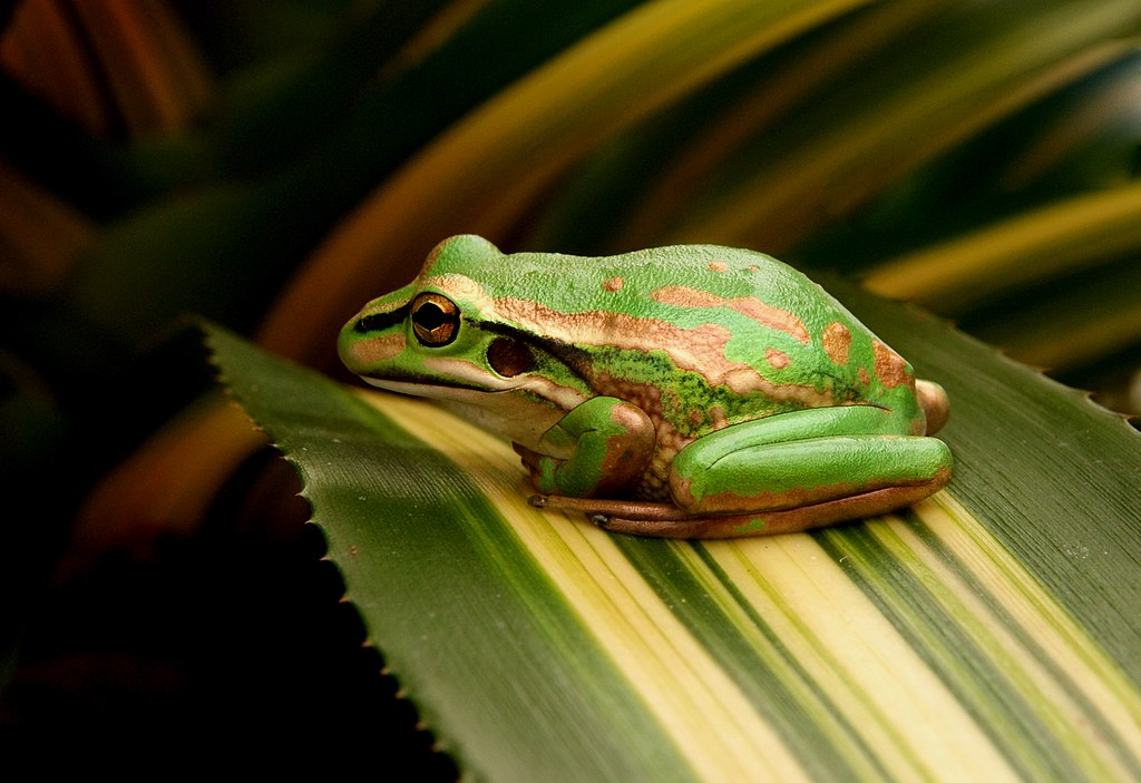 The Green and Golden Bell Frog.jpg