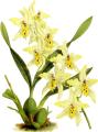 The Orchid Album-01-0131-0043-Odontoglossum Alexandrae flaveolum-crop.png