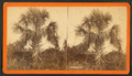 The Palmetto, by Havens, O. Pierre, 1838-1912 2.png