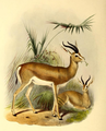The book of antelopes (1894) Gazella isabella.png