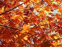 Листья осенью окрашиваются в желтый цвет