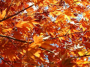 A maple tree in Massachusetts shows off its br...