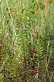 Thelypteris palustris 5498625.jpg