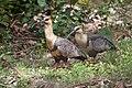 Theristicus melanopis -Puerto Montt, Chile-8.jpg