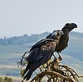 Thick-billed Raven Courtship, Simien Mountains, Ethiopia (2458682984).jpg
