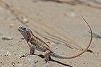 Three-eyed lizard (Chalarodon madagascariensis) male Toliara.jpg