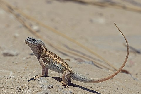 Three-eyed lizard (Chalarodon madagascariensis) male, Toliara