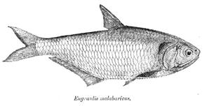 Thryssa malabarica