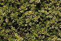 Thymus citriodorus (Lemon thyme) 01.jpg