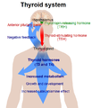 Thyroid system.png