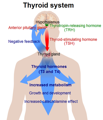 Overview of the thyroid system (See Wikipedia:...