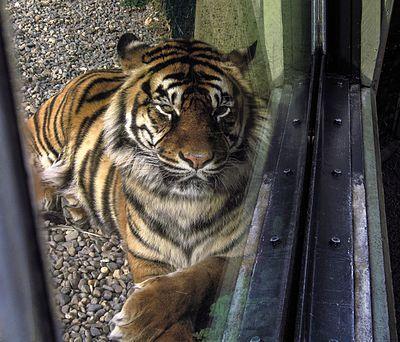 Tiger 14MAR(9)ed.jpg
