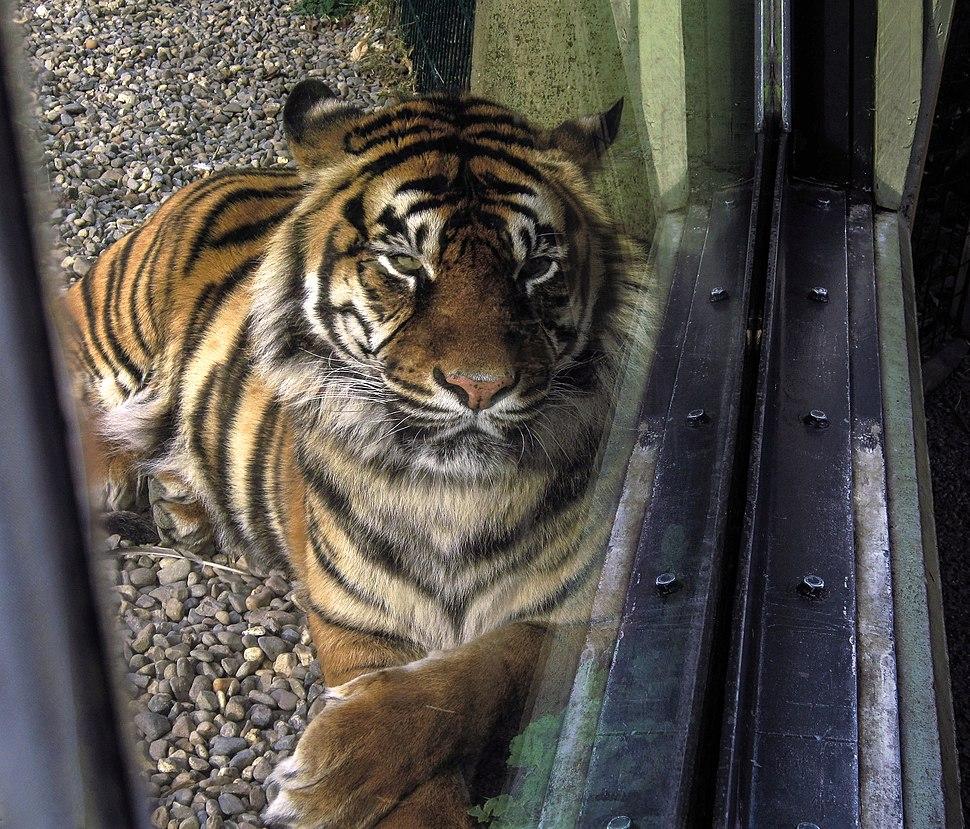 Tiger 14MAR(9)ed