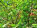 Tiny berries - panoramio.jpg