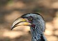 Tockus leucomelas (Bucerotidae) (Southern Yellow-billed Hornbill) - (adult), Kruger National Park, South Africa.jpg