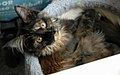 Tortoiseshell Maine Coon Female Kitten.jpg