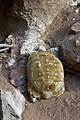 Tortuga - Bioparc Valencia (2786825153).jpg