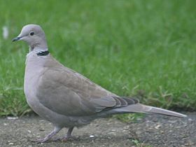 The يمامة مطوقة أوراسية (Streptopelia decaocto) is a typical and widespread member of the collared doves