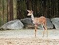 Tragelaphus imbersis Dvur zoo 2.jpg