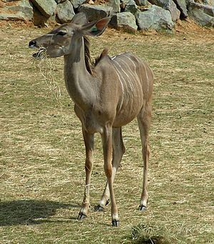 Kudu - A female greater kudu