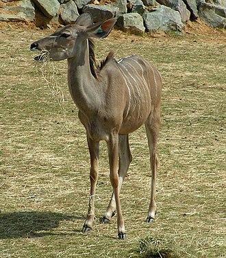 Kudu - A female greater kudu