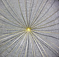Tragopogon dubius sl2.jpg