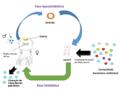 Transmissão horizontal de simbiontes (Vibrio fischeri) em Euprymna scolopes.png
