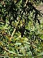 Tree Pipit (Anthus trivialis) (15268597303).jpg