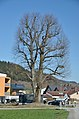 Tree at Loizenbach, Rabenstein an der Pielach 03.jpg