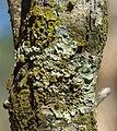 Tree based lichen Bewmalling.jpg