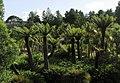 Tree ferns at Logan Botanic Gardens - geograph.org.uk - 597633.jpg