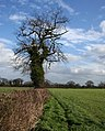Tree in field boundary, near Egerton Green - geograph.org.uk - 712379.jpg