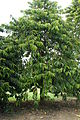 Tree of Garcinia atroviridis.JPG