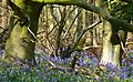 Trees and bluebells, Cobham Frith - geograph.org.uk - 1265805.jpg