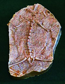 Triadobatrachus massinoti.JPG