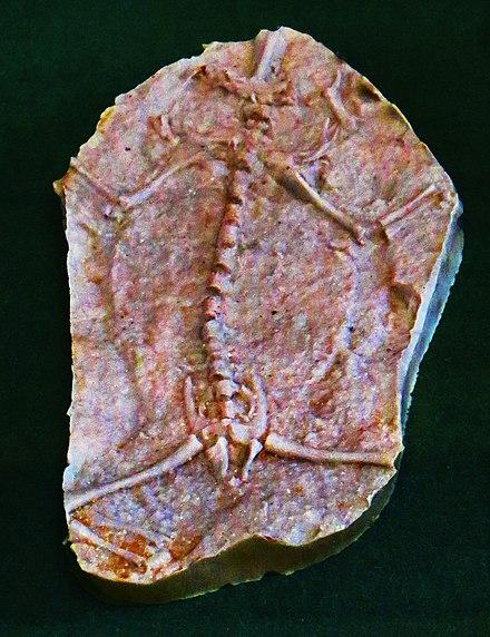 Triadobatrachus