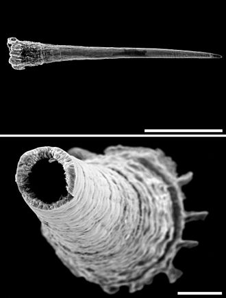 Trochulus hispidus - Scanning electron micrograph of the love dart of Trochulus hispidus, Upper image is lateral view - scale bar 500 μm (0.5 mm). Lower image is a cross-section near the base - scale bar 50 μm.