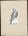 Trichoglossus concinnus - 1809-1845 - Print - Iconographia Zoologica - Special Collections University of Amsterdam - UBA01 IZ18500233.tif