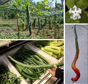 Trichosanthes cucumerina - Snake gourd