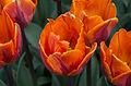 Tulipes 'Princess Irene'.jpg