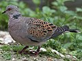 Turtle Dove compressed (cropped).jpg