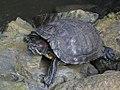 Turtles (5363734237).jpg