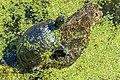 Turtles and Dragonflies-3782 (37319082522).jpg