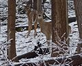 Two Deer Along the Bruce Trail Near Kings Forest Park.JPG