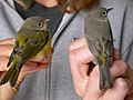 Two warblers farallones.jpg