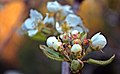 US-CA-NevadaCity-Woolman-AppleBlossom-2012-04-14T19-08-57 v1.jpg